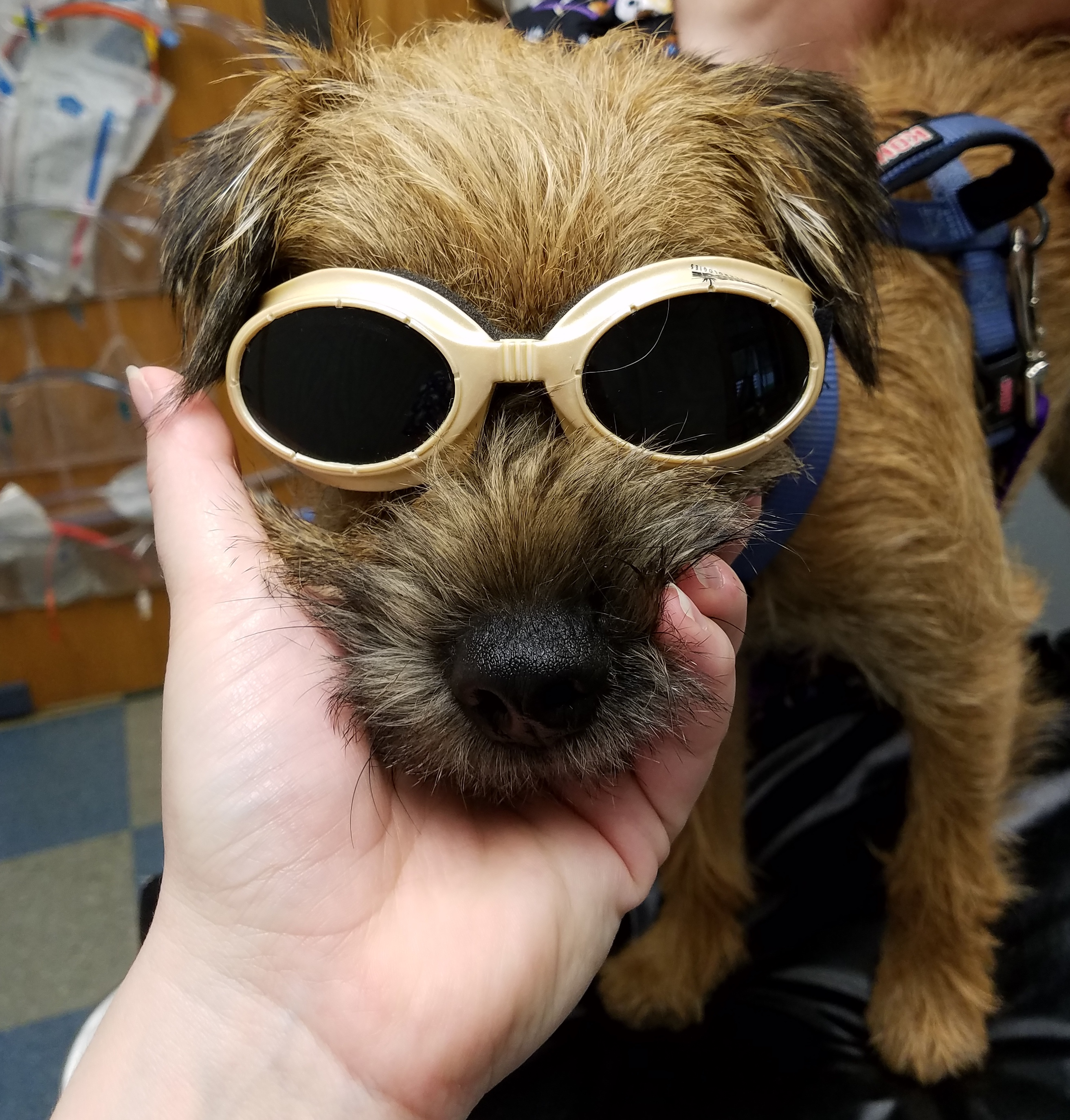 Dog prepped for laser treatment