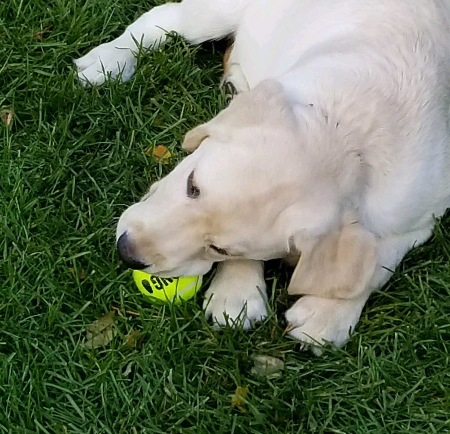Labrador retriever in grass with tennis ball
